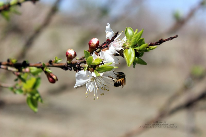 Blossom and bee in spring ElhamFB WWW.ElhamBanoo.Com-